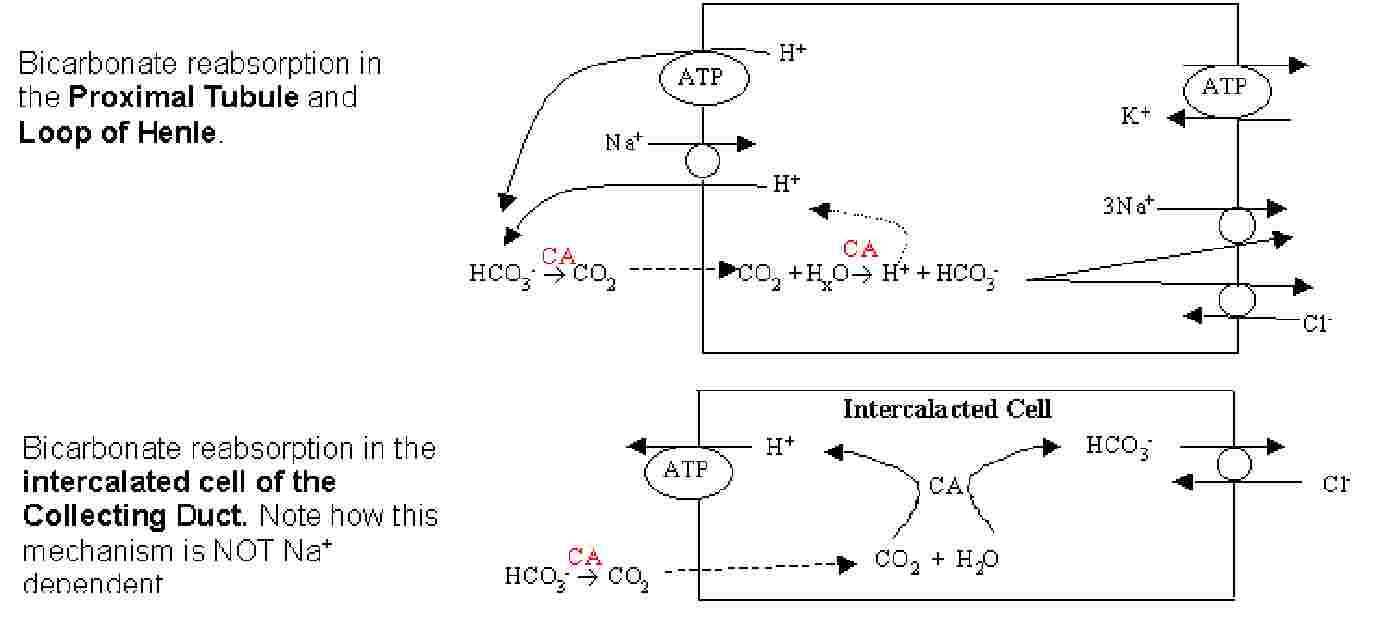 lab acid base homeostasis The blood's acid-base balance is precisely controlled because even a minor deviation from the normal range can severely affect many organs the body uses different mechanisms to control the blood's acid-base balance.