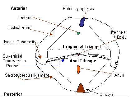 Pelvic Gross Anatomy